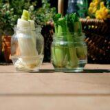 キッチンで再生野菜♪野菜の根っこを再生するやり方・種類!水でも土でも可能なリボベジとは