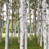 シラカバの木の水?白樺は別名「ウォーターツリー」
